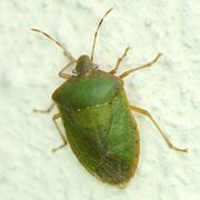Esemplare cimice verde
