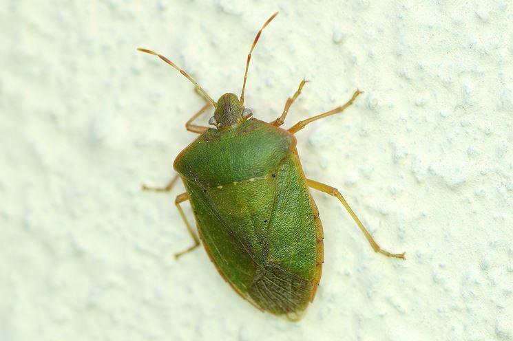 Cimice verde parassiti e malattie cimici verdi for Cimice insetto