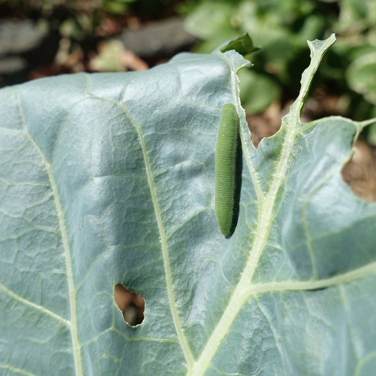 Foglia cavolo larva