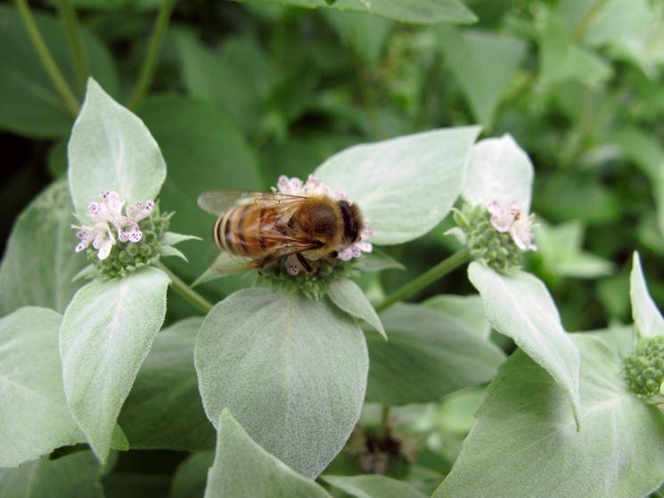 Cavolaia insetticida