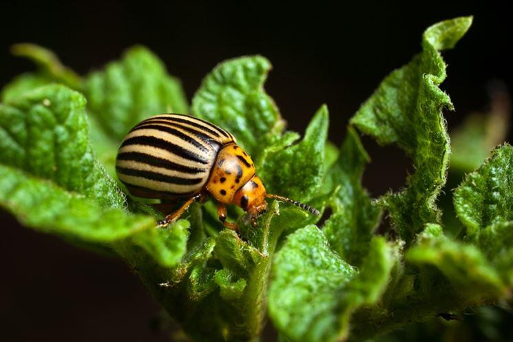 Dorifora insetto