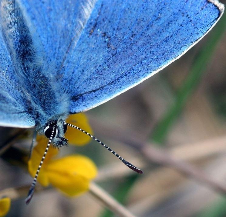 Lepidottero parassita