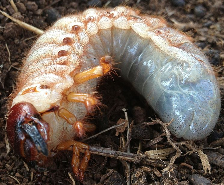 Larve insetti parassiti