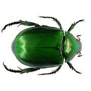 maggiolino insetto