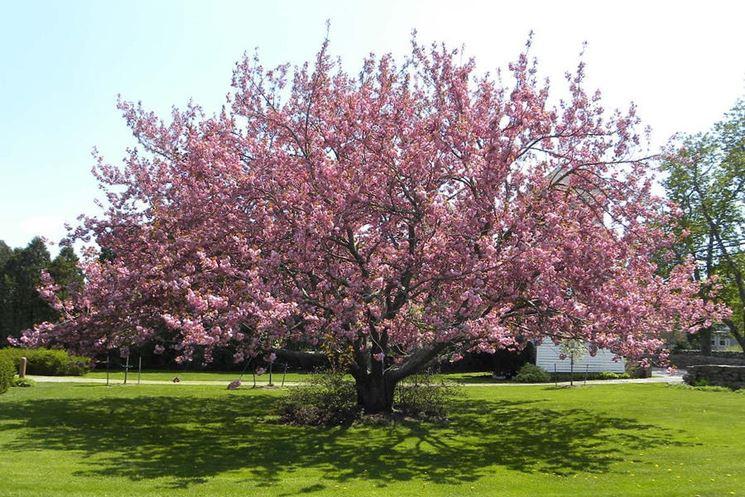Malattie ciliegio parassiti e malattie cura pianta for Pianta nocciolo prezzo