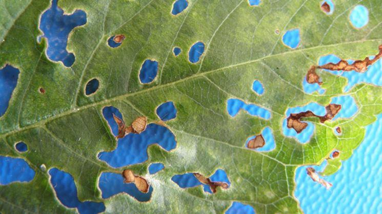 Foglia ciliegio corineo