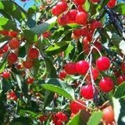 foglie ciliegio