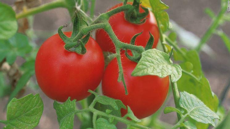 Piante pomodoro