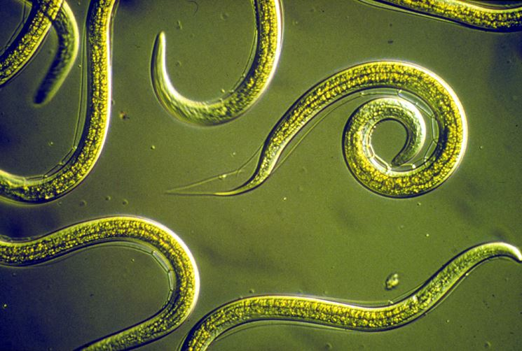 Larve nematodi