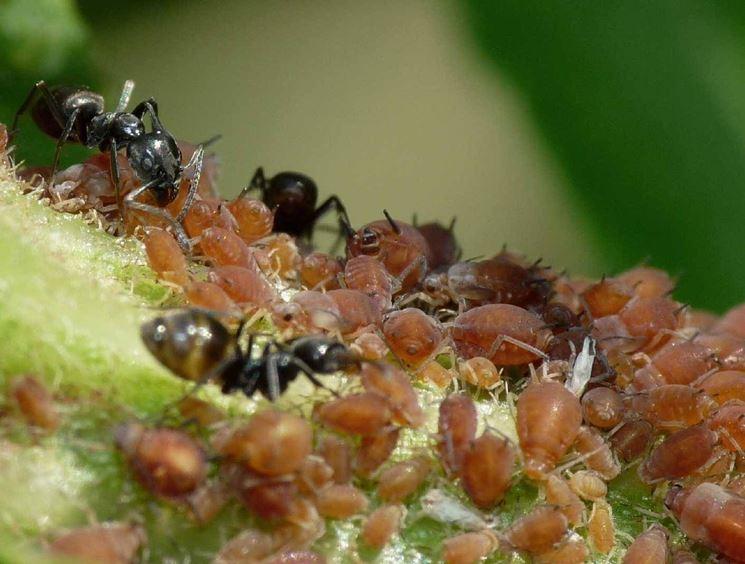 Formiche ed afidi insieme