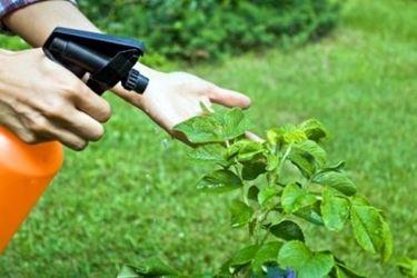 Pidocchi piante rimedi naturali