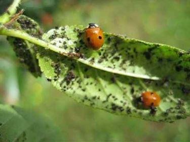 Rimedi naturali pidocchi piante