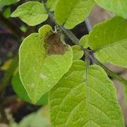 Poltiglia bordolese sulle foglie cadute