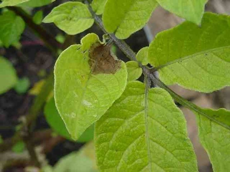 Poltiglia <strong>bordolese</strong> sulle foglie cadute