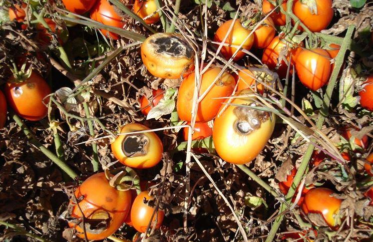 Pomodori malati