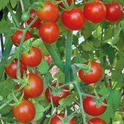 parassiti pomodori