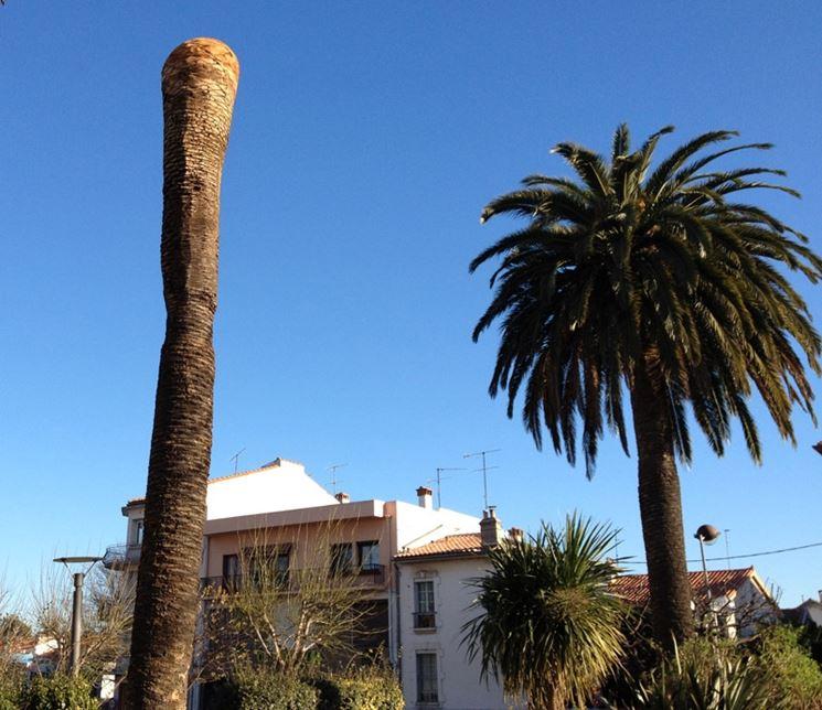 Palma colpita dal punteruolo