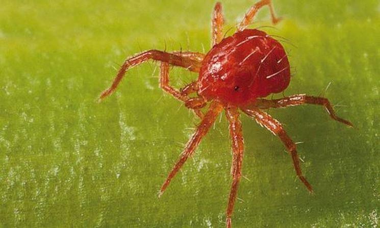 Ragnetto rosso parassiti e malattie variet ragni for Piante secche ornamentali
