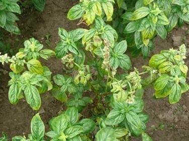 sclerotinia piante