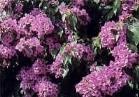 piante rampicanti perenni