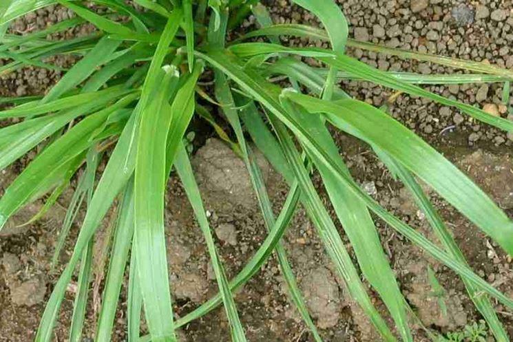 Lolium perenne prato coltivazione loietto perenne - Compost casalingo ...