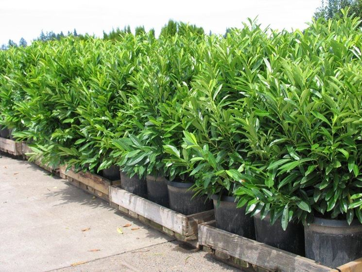 Siepe lauro domande e risposte giardinaggio siepe for Siepe finta amazon