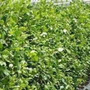 Siepe lauro domande e risposte giardinaggio siepe for Alloro siepe