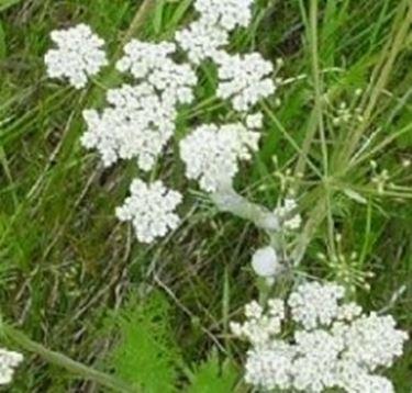 fiori cumino