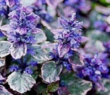 fiori ajuga