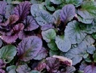 foglie ajuga