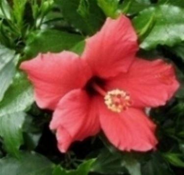 Hiiscus rosa sinensis