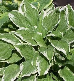 Le piante erbacee perenni speciali for Piante a foglia larga da esterno