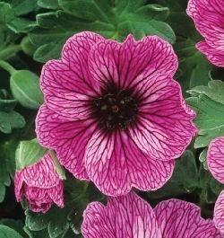 Le piante erbacee perenni speciali for Piante da bordura perenni