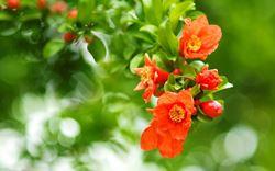 fiore melograno
