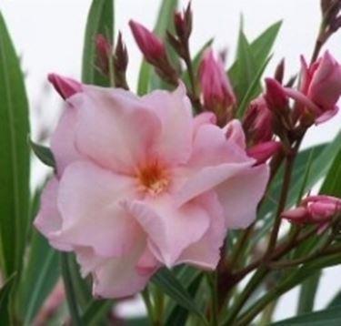 oleandro oleandri : Oleandro - Speciali - coltivare oleandro - fiori oleandro