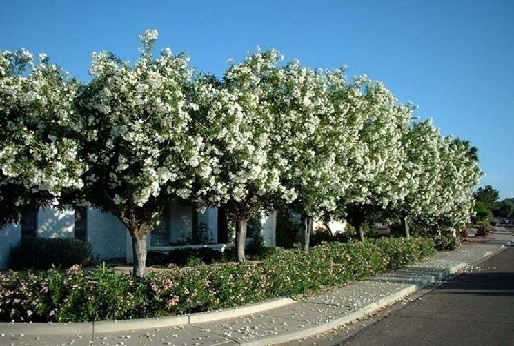 oleandri grandi fioriti
