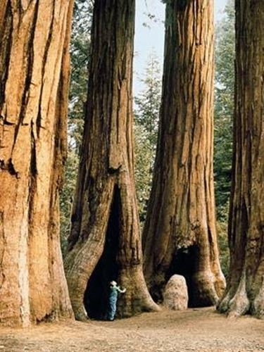 Una suggestiva Sequoia californiana