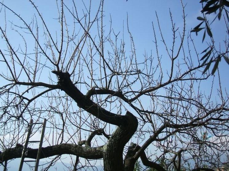 Potatura albicocco adulto