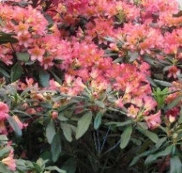 siepi fiorite speciali