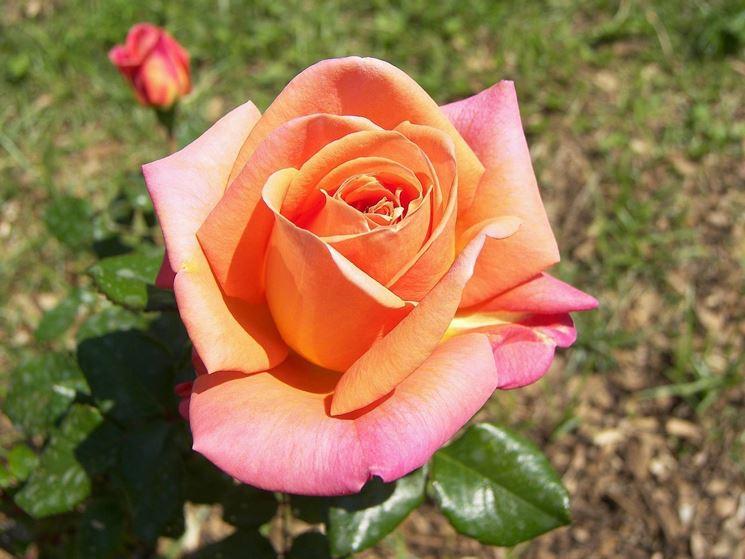 Coltivazione rose tecniche di giardinaggio - Rose coltivazione in giardino ...