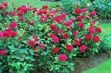 Coltivazione rose tecniche di giardinaggio for Rose piante