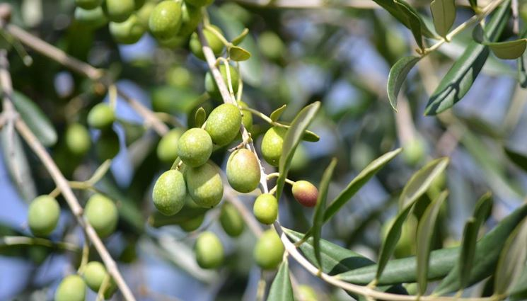 Ramo d'ulivo con i frutti (olive)
