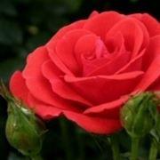 concime per rose