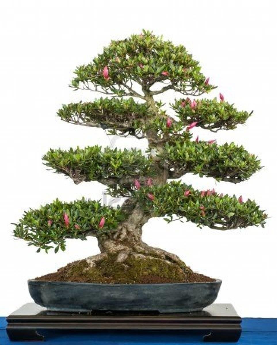 costo bonsai
