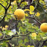 Limone selvatico
