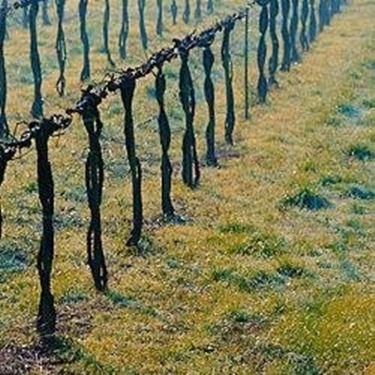 Potare le viti giovani tecniche di giardinaggio - Potatura uva da tavola ...