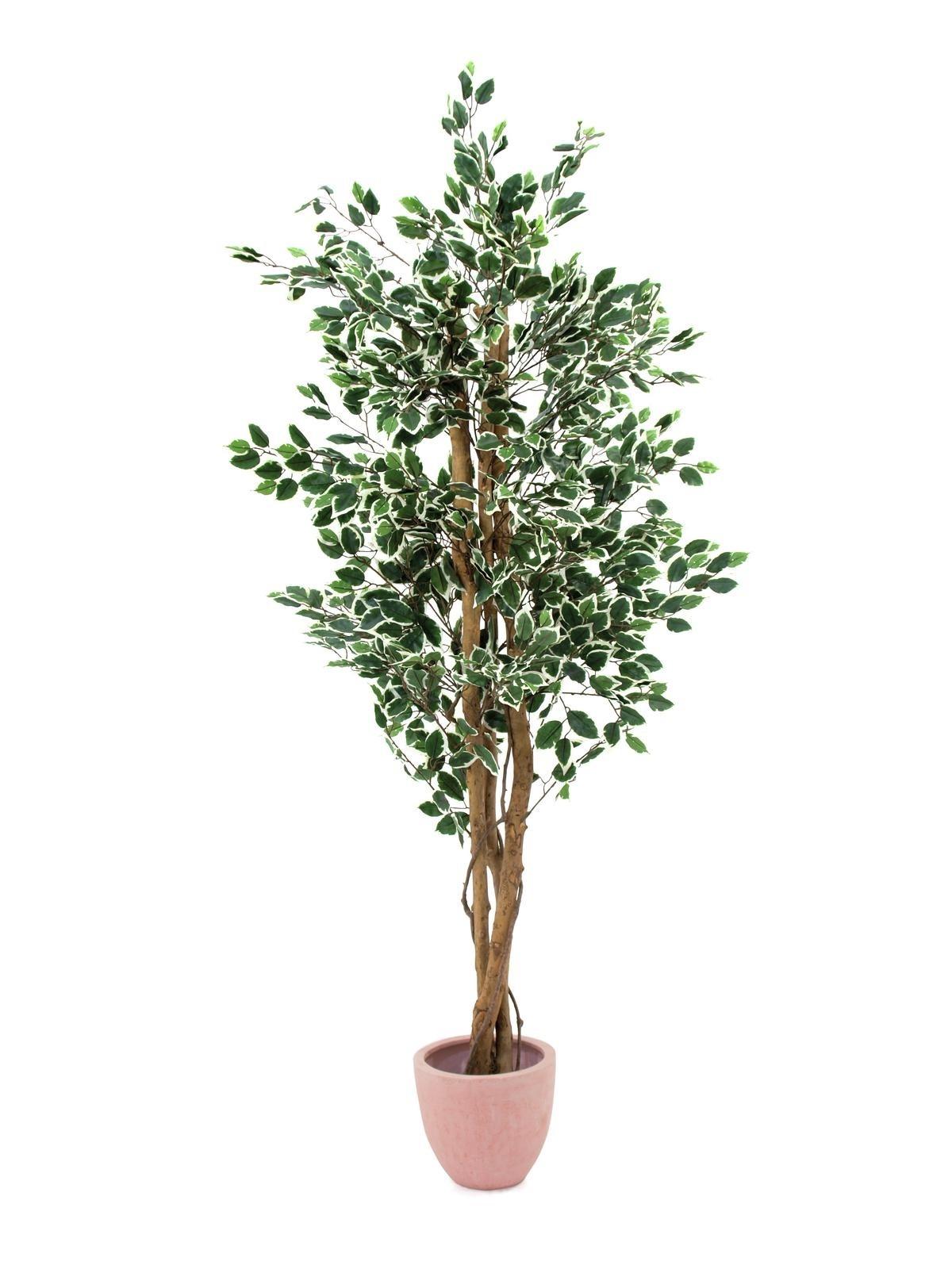 Potatura ficus benjamin tecniche di giardinaggio for Ficus benjamin potatura