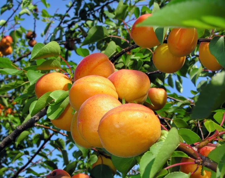 pianta albicocche