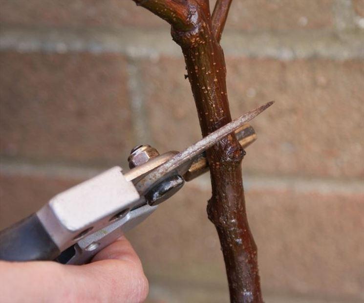 Taglio effettuato su un albicocco