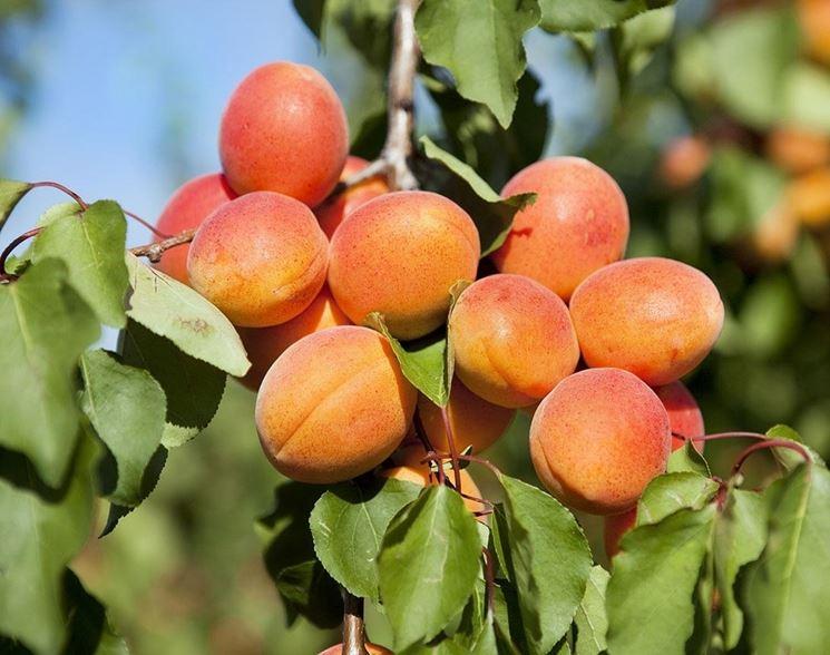 Abbondante ramo fruttifero